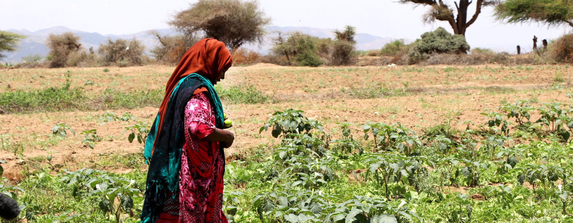 Crops grown from irrigation system near Ruqi village in Somaliland